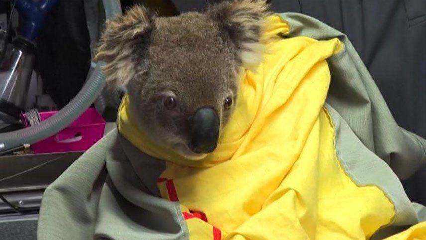 Cinco koalas rescatados fueron liberados tras los brutales incendios en Australia