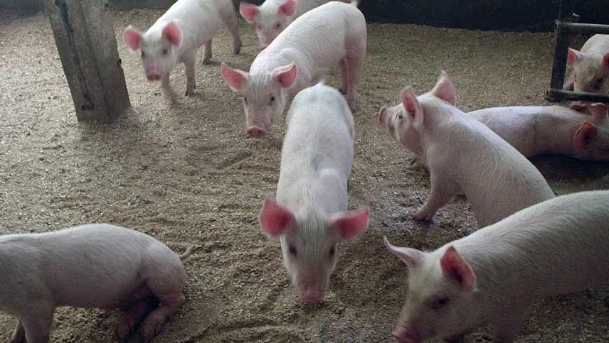 Emiratos Árabes Unidos aceptó la propuesta de certificado sanitario para la exportación de carne de cerdo refrigerada y congelada desde la Argentina.
