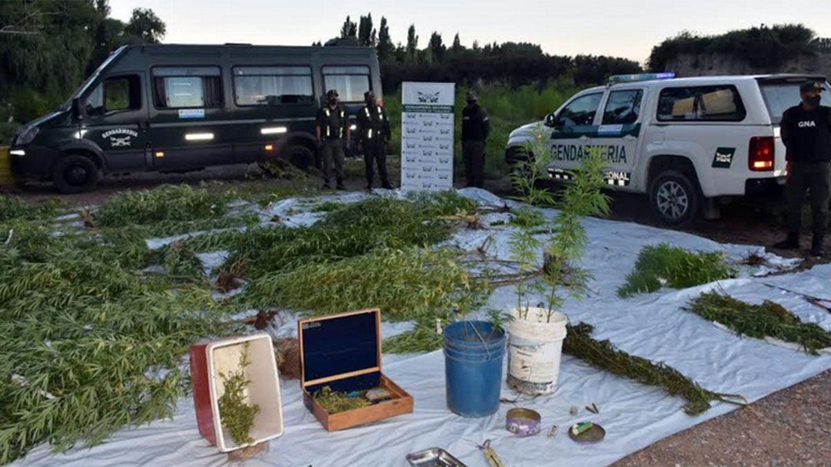Encontraron 40 plantas de marihuana en dos casas de Tupungato