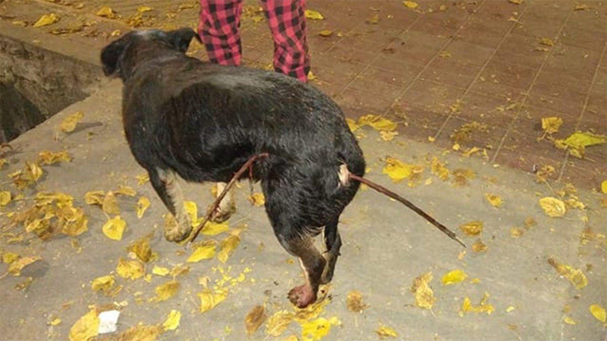 El perro herido fue encontrado en calles del centro de Mendoza