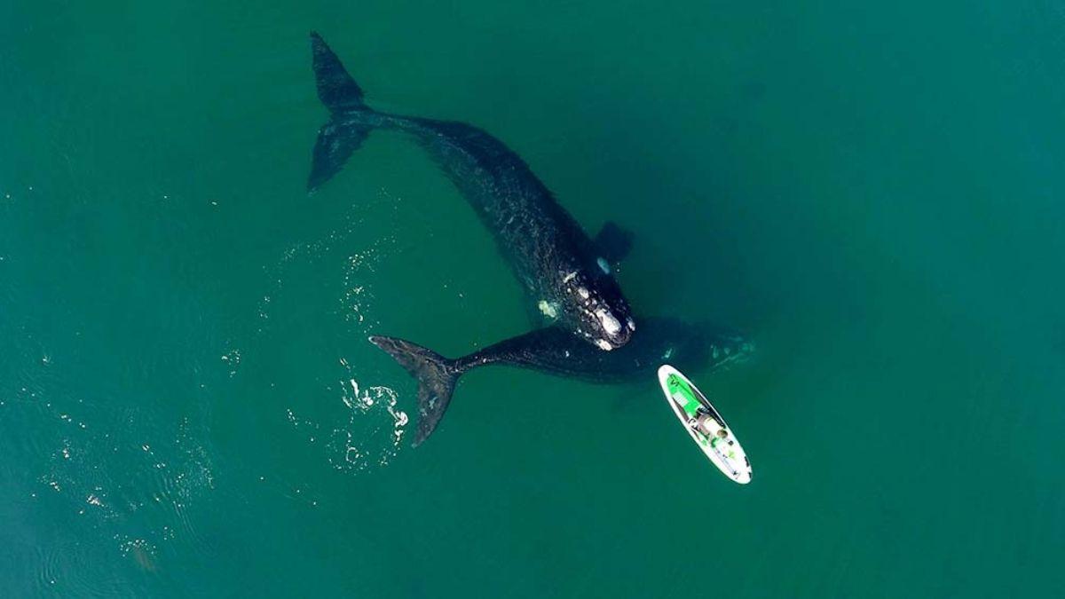 Este martes se dieron las condiciones óptimas para apreciar el acercamiento de las ballenas a la costa de Puerto Madryn.