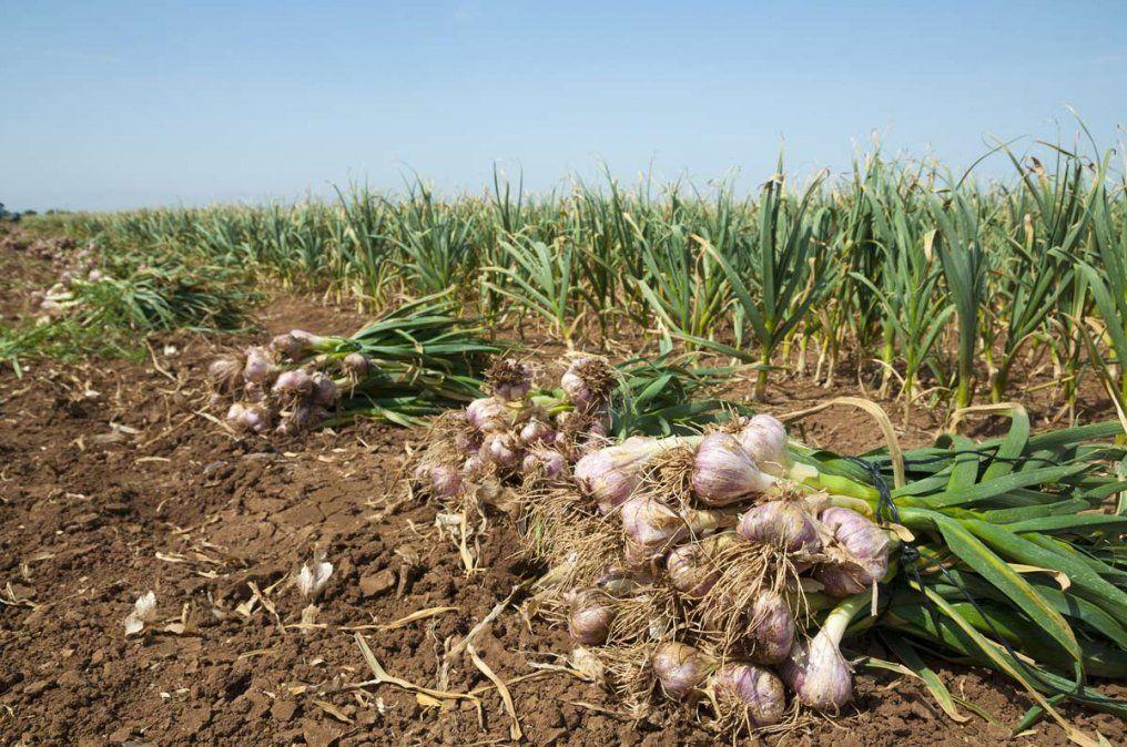 Por el aumento del robo de cosechas de ajo