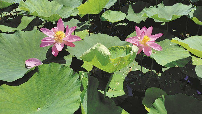 La gloria ancestral florece con los lotos