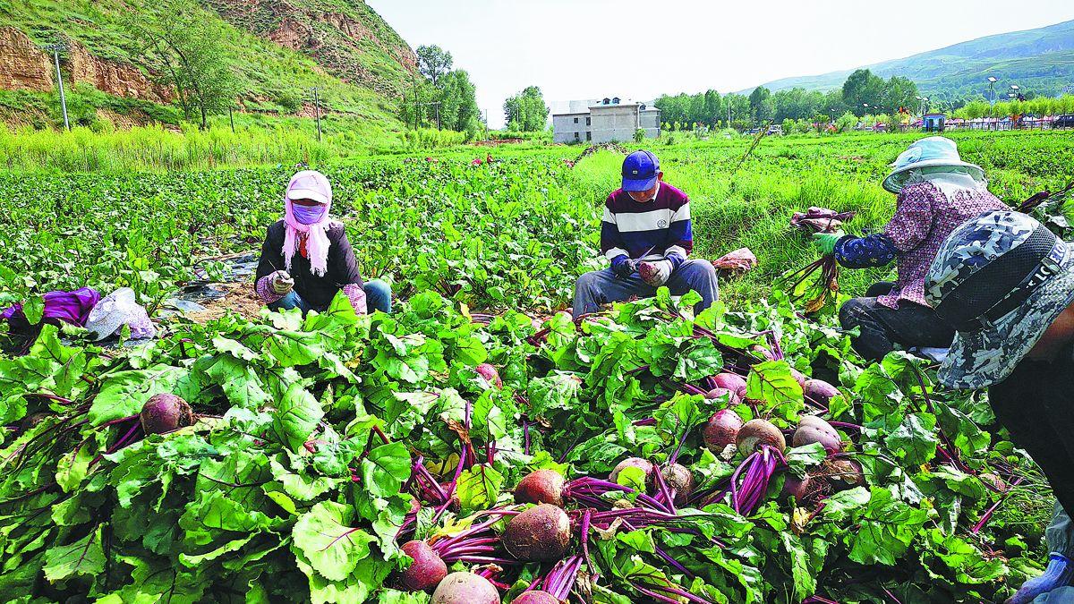 Agricultores de la provincia de Qinghai recolectan remolachas procedentes de semillas espaciales dentro de un parque destinado a mostrar estos avances. PARA USO DE CHINA DAILY