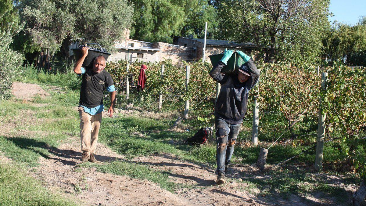 Promedia la cosecha 2021 y la mano de obra se esfuerza para cumplir