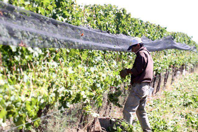 Subsidios por U$S6,7 millones para la vitivinicultura sureña