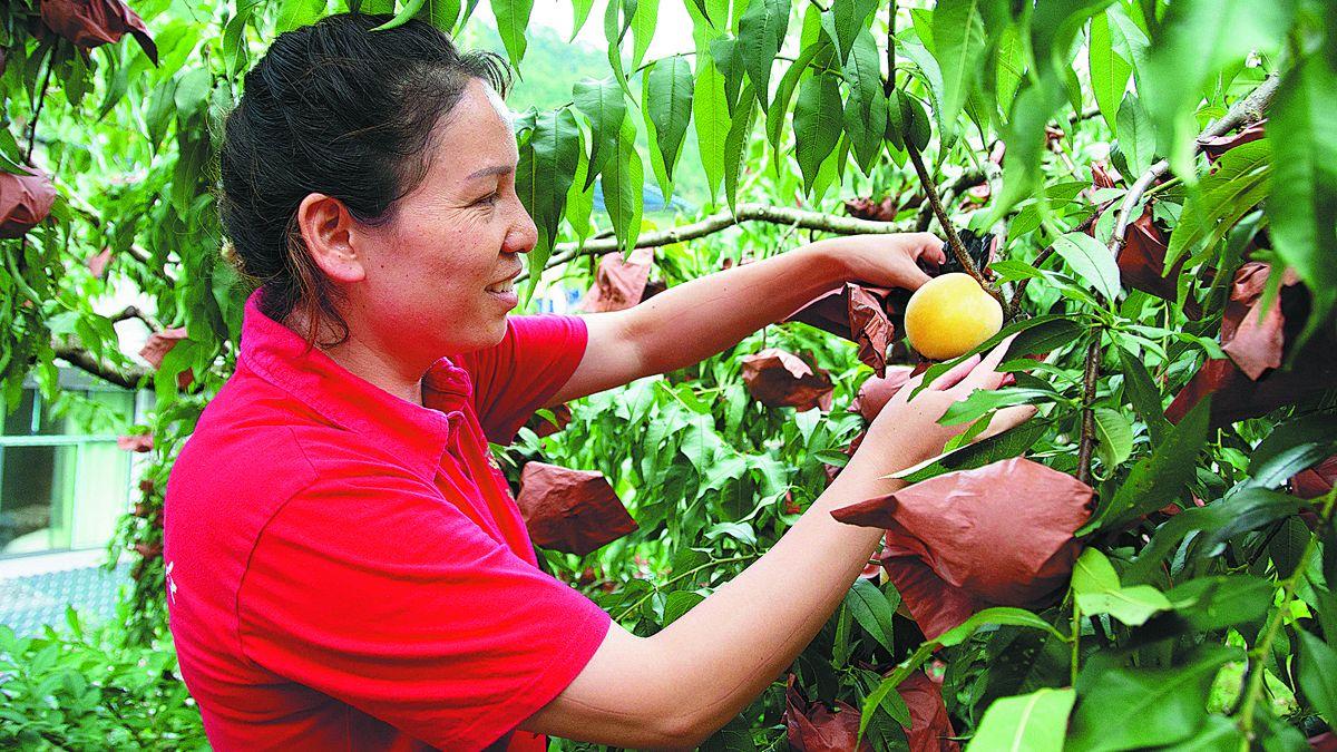 Una agricultora recoge duraznos amarillos de Yanling en Zhuzhou