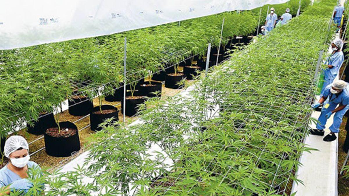Cannabis: dicen que Mendoza está mucho más avanzada que Nación para regular la actividad.