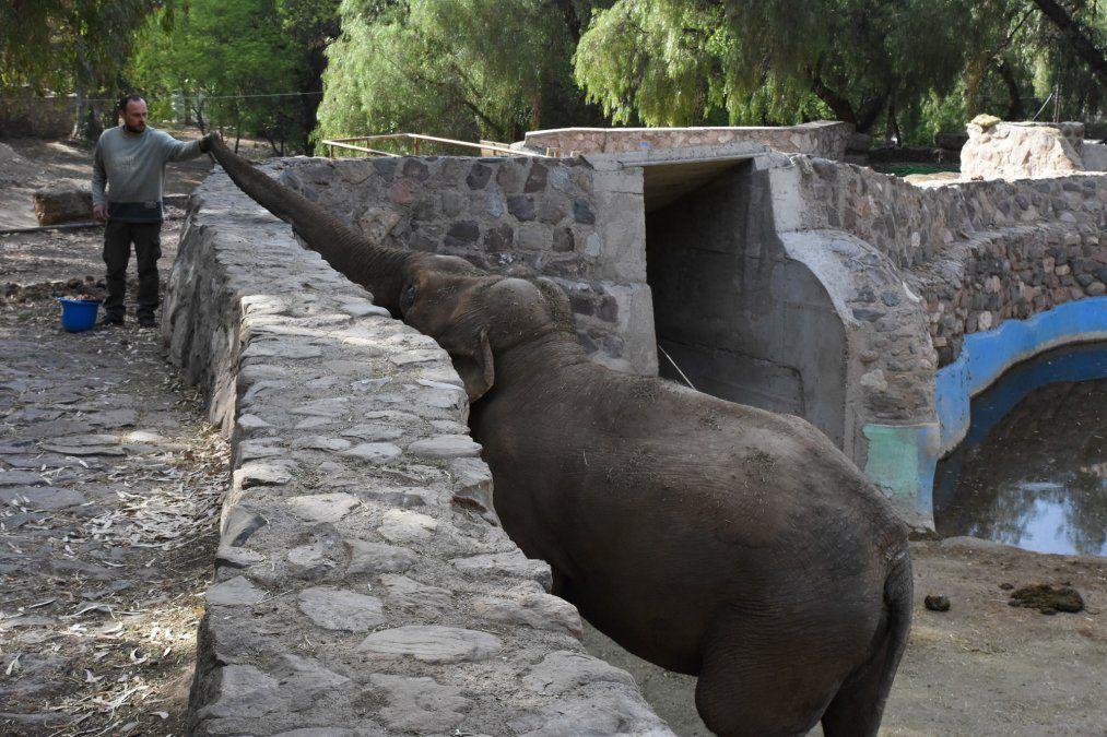 El elefante Tamy deberá esperar a que primero viajen al ecoparque de Brasil sus congéneres hembras Pocha y Guillermina
