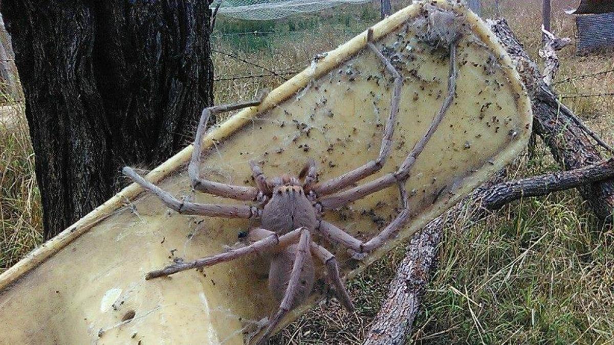 Parió 200 arañitas. Ayudó a una araña gigante a dar a luz y la adoptó