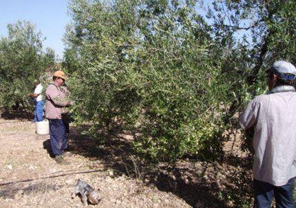 La producción de aceitunas cayó 20% en Mendoza, según los últimos datos