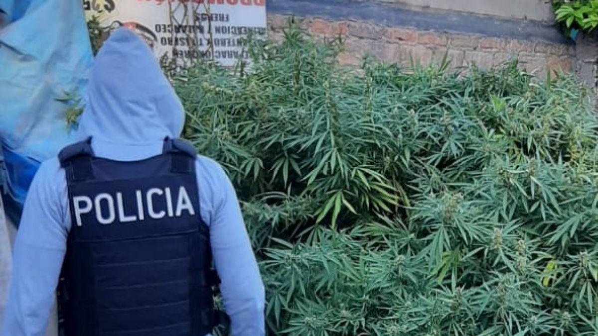 Estas plantas de gran tamaño de marihuana