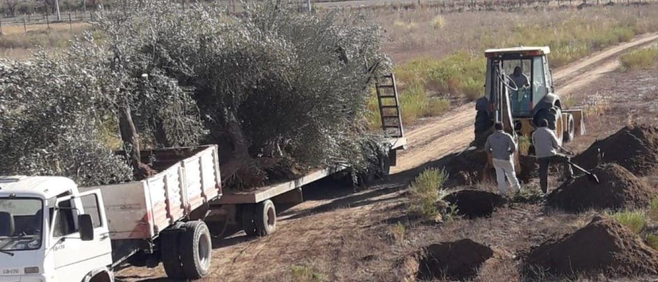 La erradicación de plantaciones de olivo en Mendoza a diezmado la producción drásticamente.