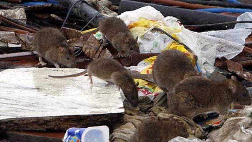 Crece la preocupación por la invasión de ratas y cierran el acceso al Nahuel Huapi