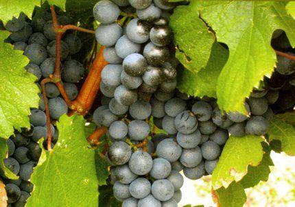 Productores de uva amenazaron con medidas de fuerza por la plaga