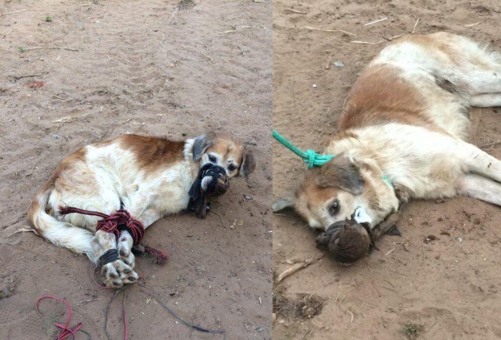 Indignante. Este perrito fue víctima de maltrato animal.