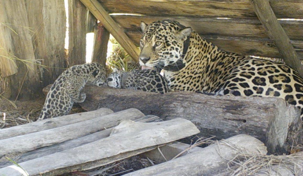 Una nueva camada de yaguareté nacieron en los Esteros del Iberá