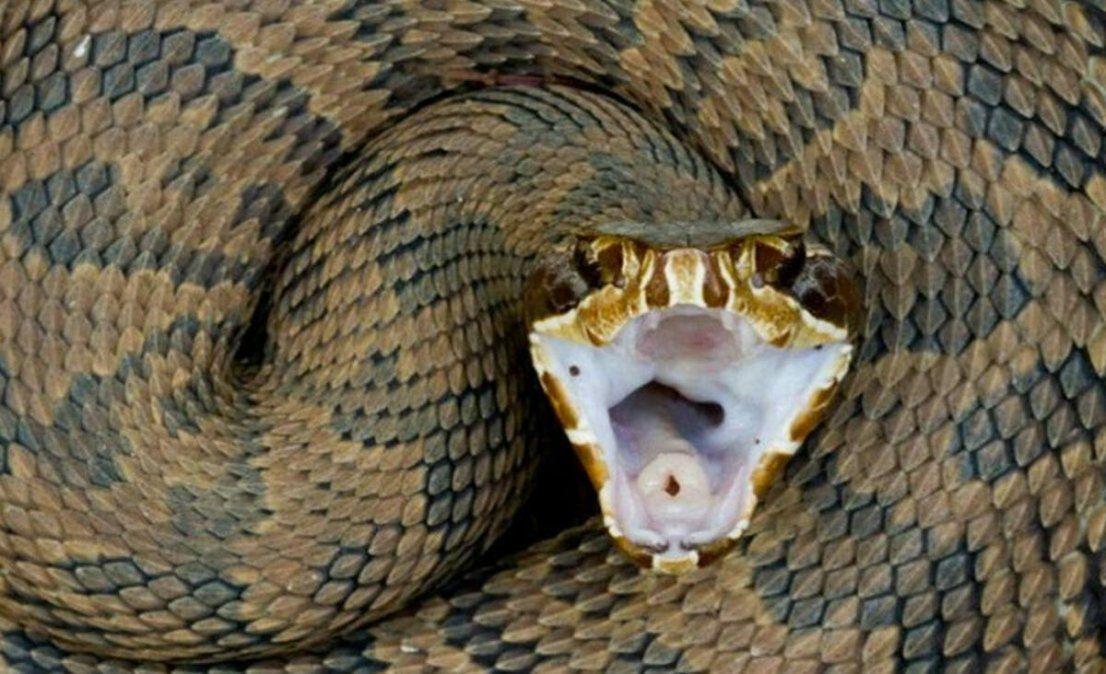 Espeluznante. Un cazador de serpientes guardaba sus pieles en el techo.