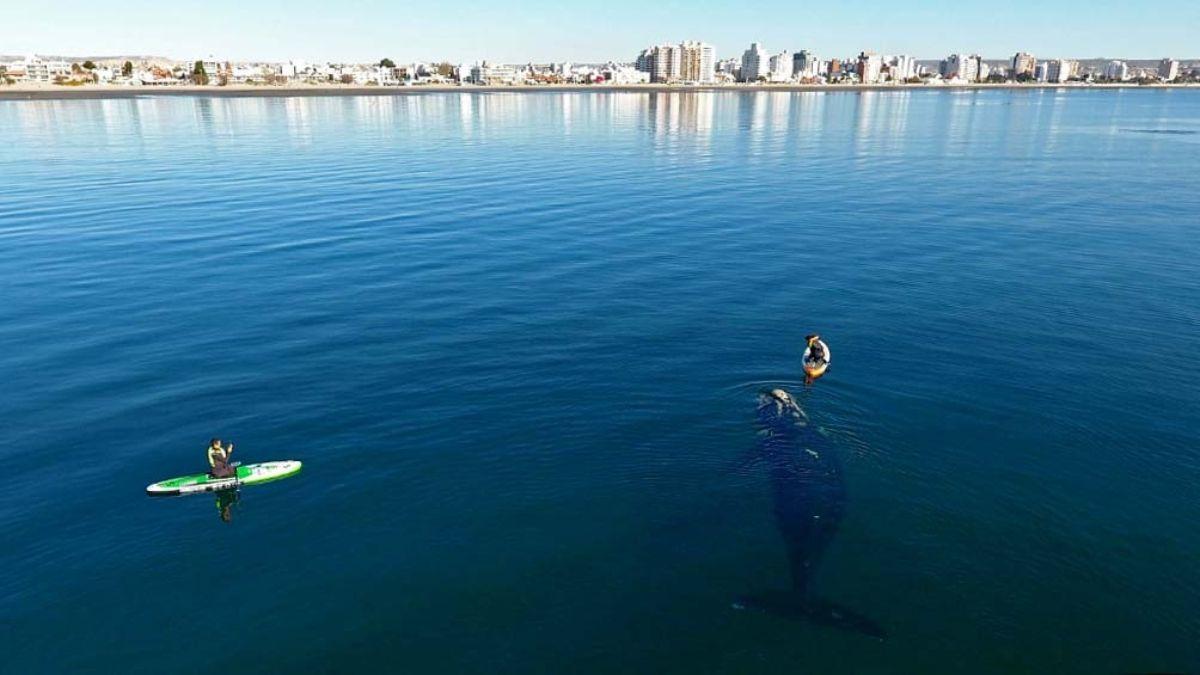 Son los propios cetáceos los que se acercan a las embarcaciones, ya que por ley está prohibido a las personas hacerlo, lo que hace más mágico el momento.