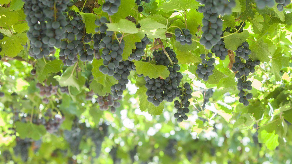 La Argentina cerca de recuperar el estratégico mercado de Brasil para su uva en fresco.