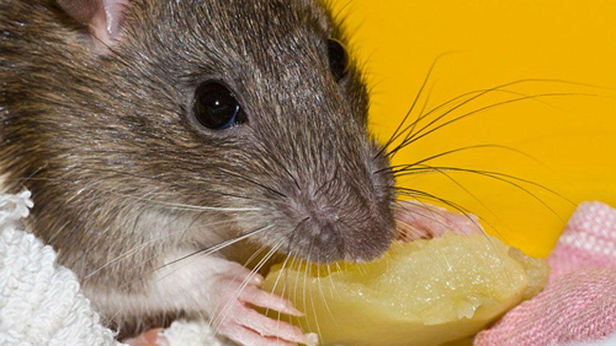 San Juan: un niño de dos años intoxicado por comer queso con veneno para ratas