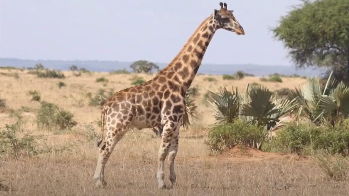 El extraño caso de las jirafas enanas.