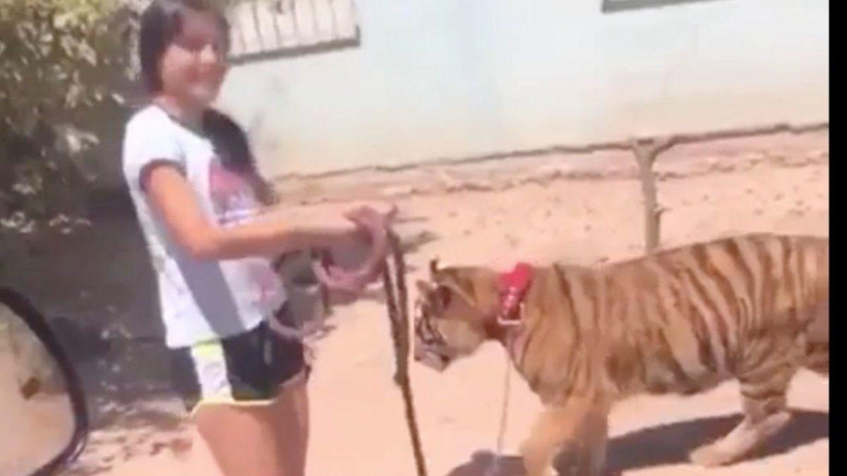 Insólito. Un video de una joven caminando con un tigre causó sorpresa.