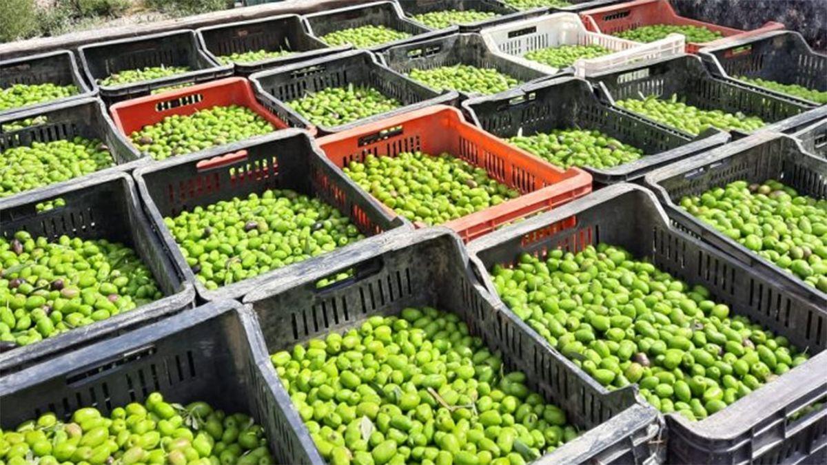 El establecimiento clandestino acopiaba 1.600 kilos de aceitunas en 80 cajones.