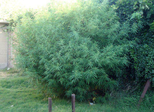 Encontraron en una casa una planta de marihuana de más de 3 metros