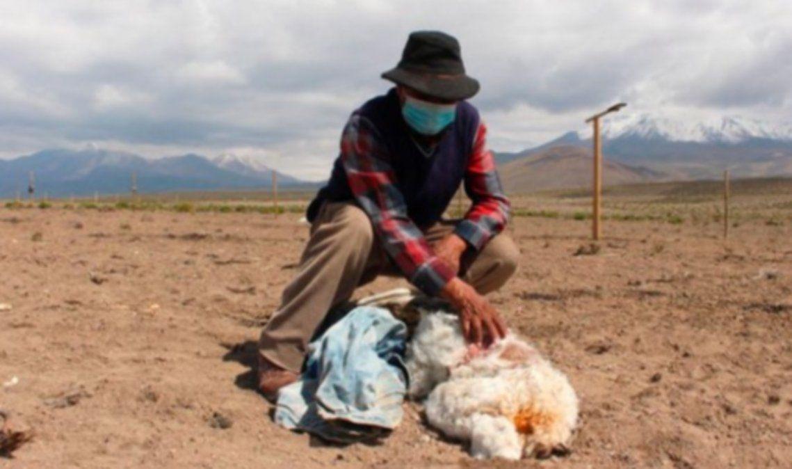 Volvió el chupacabras: alerta por animales muertos