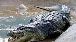 Se comió todo. Faenaron un cocodrilo y encontraron cosas increíbles.