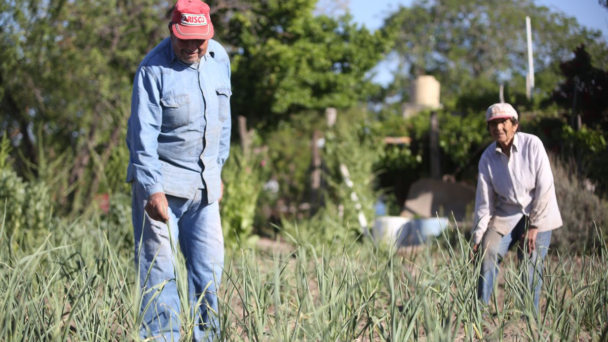 Para semilla. La gran mayoría de la producción de hortalizas de la finca de los Ramírez será destinada a la producción de semillas