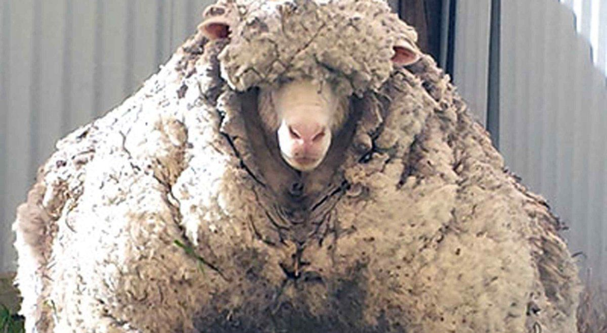La reina de la lana. Una oveja que estuvo 5 años sin ser esquilada y le sacaron 34 kg de lana.