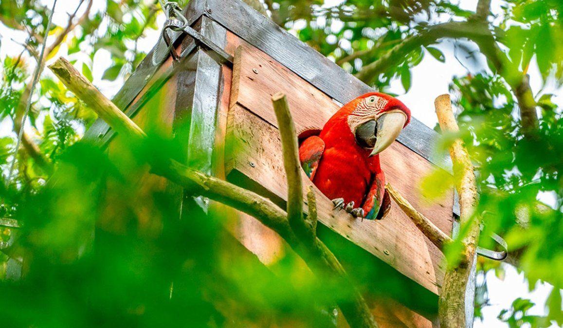 Vuelan en Corrientes guacamayos rojos