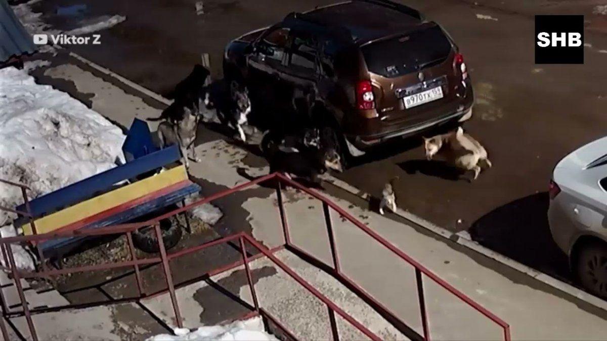 El rey de los gatos. Un gato karateca enfrentó a 7 perros y los ahuyentó.