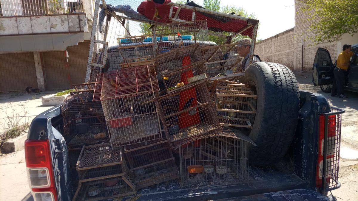 Jaulones, jaulas y tramperos. Triste imagen de un comercio vil e ilegal de pájaros silvestres. En Guaymallén y Las Heras se logró recuperar a 26 aves este sábado y se los entregó al personal de Recursos Naturales de la Provincia.