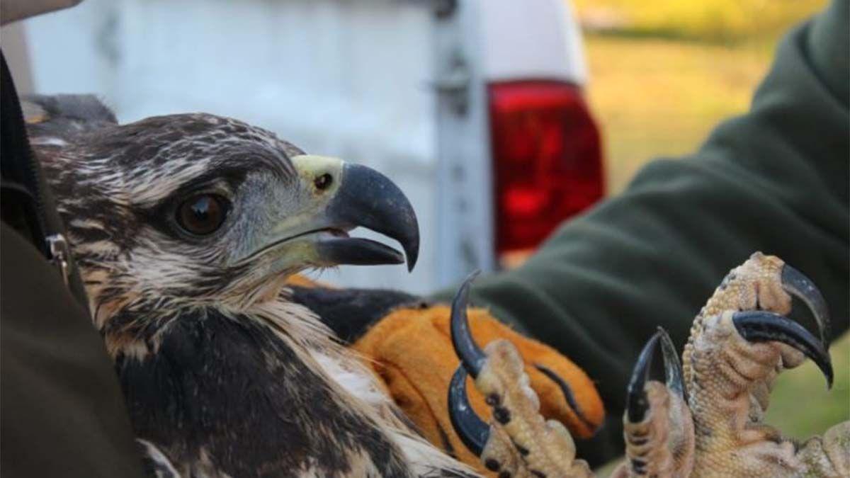Rescataron un águila coronada que estaba al costado de la ruta