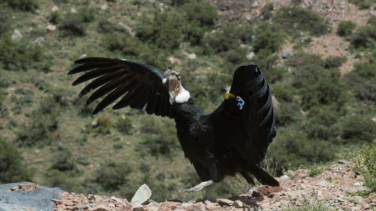 Cóndor andino. En el Ecoparque serán rehabilitados.