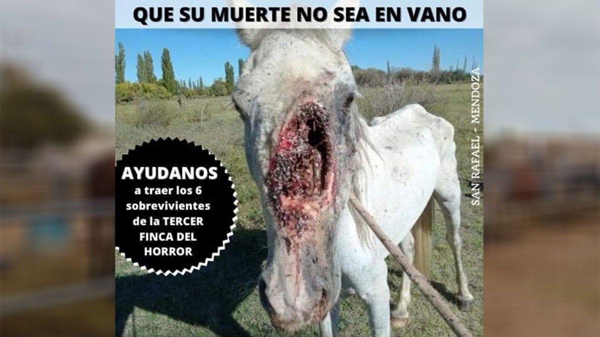 Así estaba uno de los caballos encontrados en una finca del horror en San Rafael.