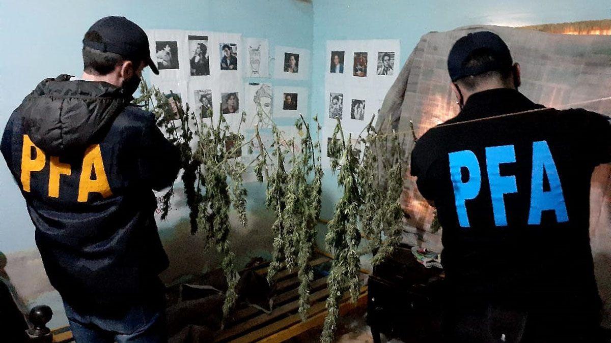 La Policía Federal detectó plantas de marihuana de gran tamaño en varias casas de Maipú.