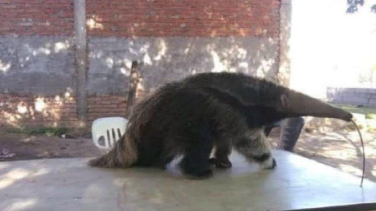 En cautiverio. Vendían a un oso hormiguero en las redes sociales.