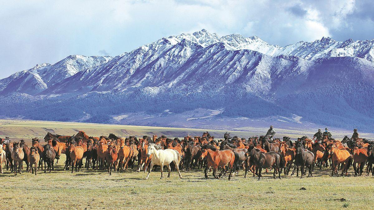 Una manada de caballos de una granja local galopa al pie de las montañas Qilian en la provincia de Gansu en mayo. WANG CHAO / PARA CHINA DAILY