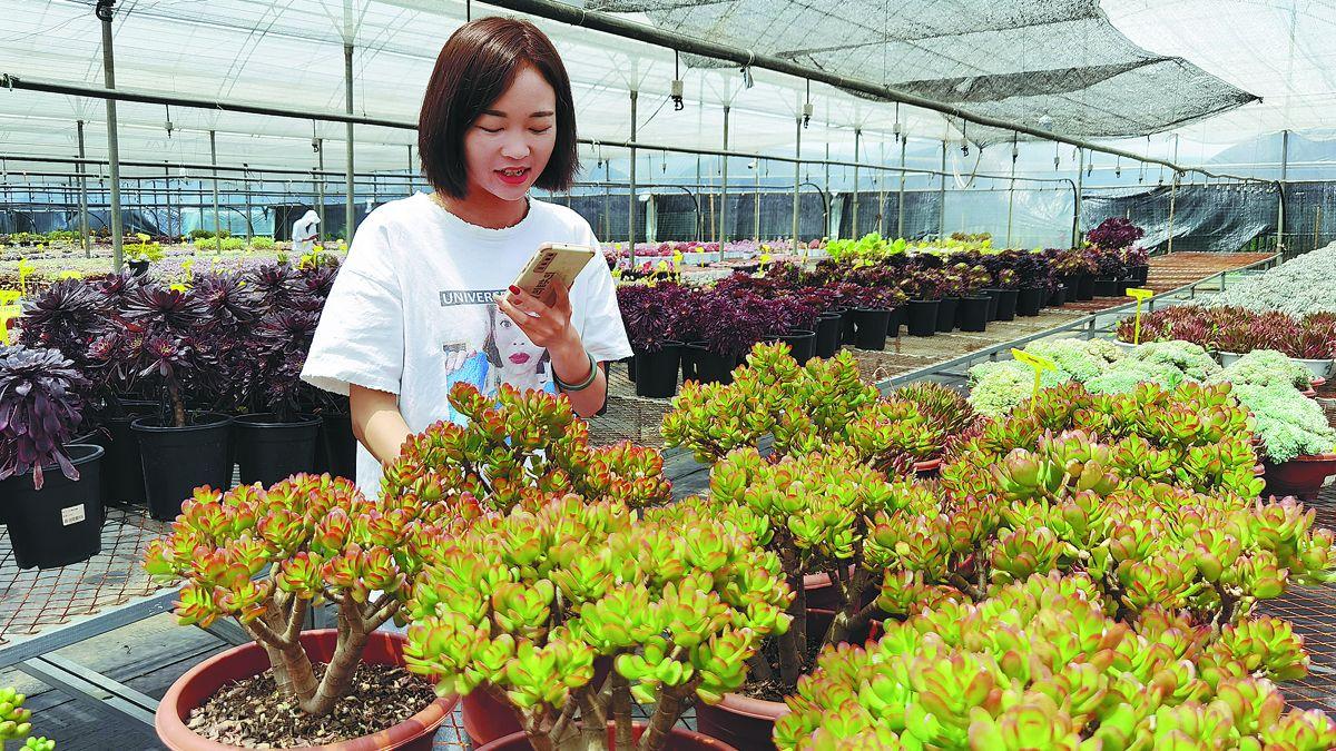 Una presentadora de programas en vivo muestra a los clientes las plantas. ornamentales por móvil en un invernadero en Kunming